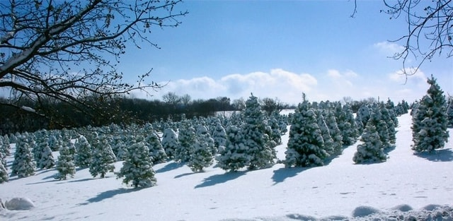 Strawberry Hill Christmas Tree Farm in Lawrence, KS