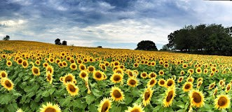 Grinter Farms Sunflowers in Kansas City